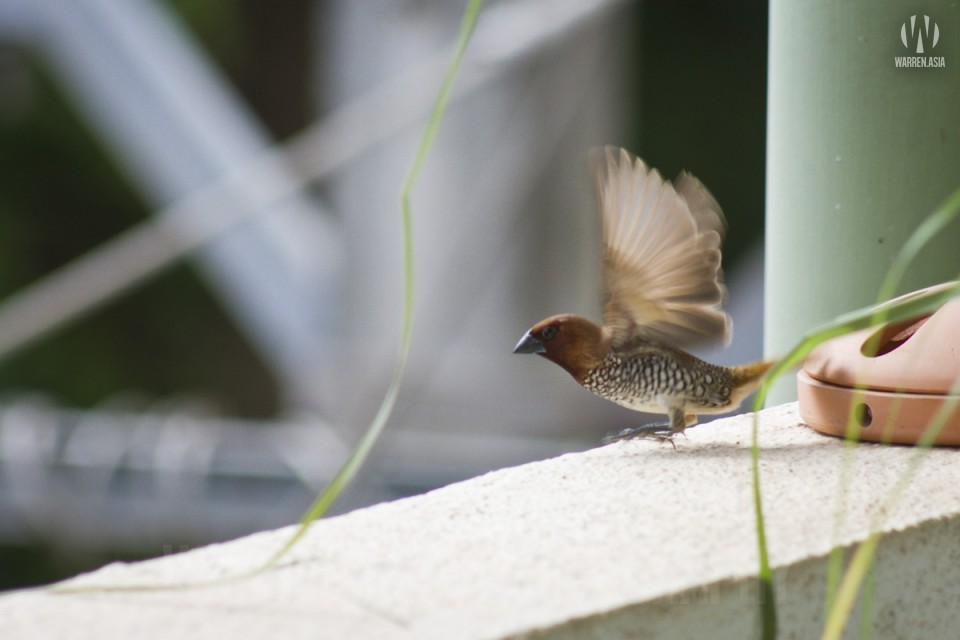 Scaly-Breasted Munia stealing our lemongrass